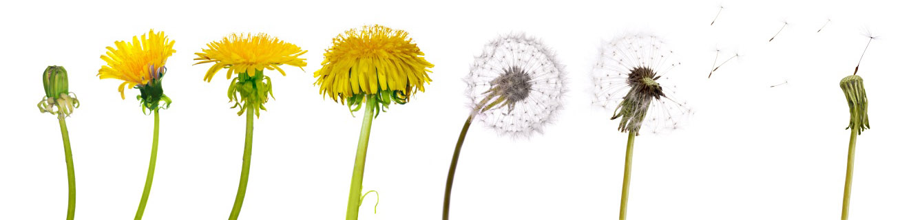 dandelion-life-cycle